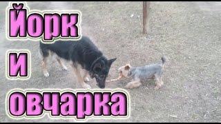 Смешной йоркширский терьер Смешная немецкая овчарка Приколы про собак