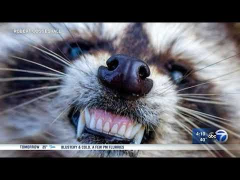 'Zombie raccoons' infected with distemper reported in Cook County and Ohio