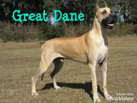 TOP 10 LARGEST DOG BREEDS YOU NEVER KNEW😎😎