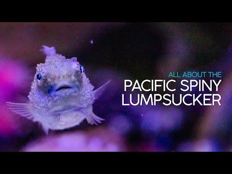 Birch Aquarium: All About The Pacific Spiny Lumpsucker