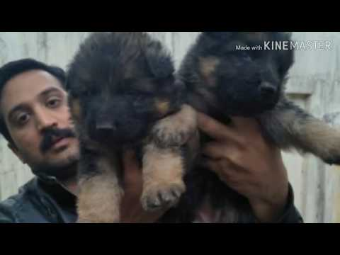 German shepherd long coated puppies /available for Booking #pk dogs breed