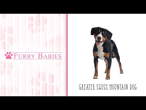 Is the Greater Swiss Mountain Dog the right breed for you?