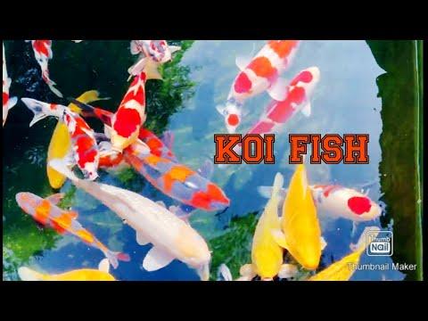 Best Koi Fish Videos   2021 Japan Compilation (part1)