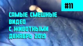 Самые смешные видео с животными Декабрь 2019 коты кошки собаки коубы кубы приколы 11