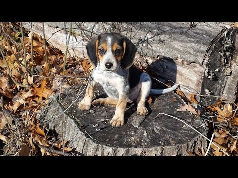 Bluetick Beagle puppies training for a big game hunt