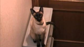 Have you ever seen talkative cat like him? Let's obeserve him! こん...