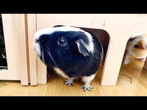 Vlog: New Guinea Pig Hidey & Exploring | Haul