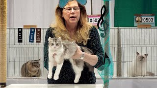 CFA International Show 2019  Longhair Kitten Class Judging  1st Set