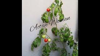 طريقة زراعة الطماطم من البذره وتسميدها  وتلقيحها يدويا ورعايتها الى قطف الثمار