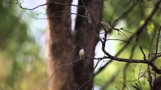 ホオグロオーストラリアムシクイ