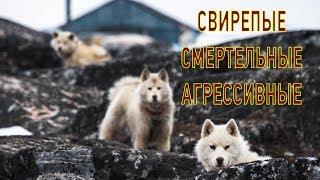 Свирепые гренландские собаки. Никто не смеет подойти к ним, кроме хозяина