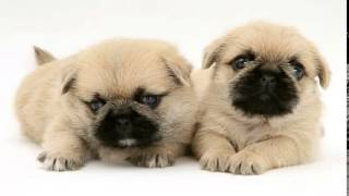 Pictures Of Pug-zu Puppies Pictures | Best Pictures Of Pug-zu Puppies Pictures Compilation
