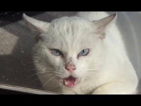 【実録 大物猫の喧嘩!】肝が据わっていた白猫 Quarrel of cat ③