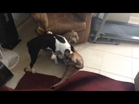 American Pit Bull Terrier Wrestling with Boston Terrier