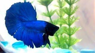 """Красивая бойцовская рыбка """"Петушок"""""""