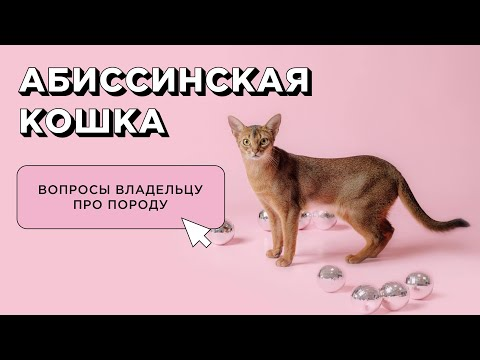 10 вопросов об абиссинской кошке: характер и поведение. Отзыв владельца