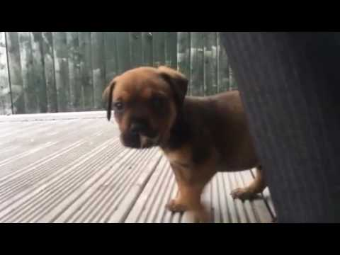 Cairo 8 Week Old Rottweiler Bull Mastiff Cross Getting Used To His