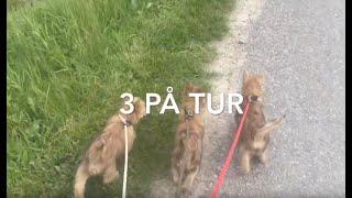3 Cairn terrier hvalpe på tur