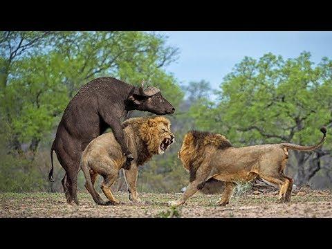Descargar Video BEST STRONG BUFFALO HERD VS PRIDE LION | Buffalo Versus Lion To Save Mother Buffalo Giving Birth