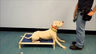"Dogo Argentino And Boxer Mix ""snoopy"" For Adoption"