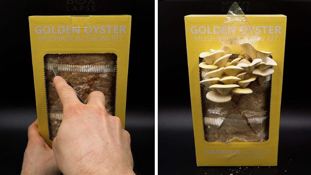 Growing Golden Oyster Mushroom Time Lapse - Two Harvests In 22 Days