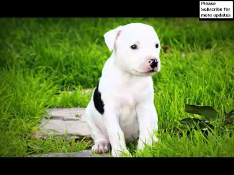 Dog American Pit Bull Terrier Puppy | Picture Ideas Of Terrier Dog Breed And Puppy