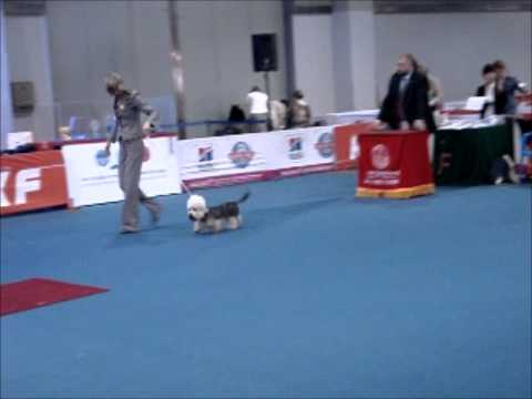 2011 FCI ASIA & THE PACIFIC SECTION DOG SHOW - Dandie Dinmont Terrier -