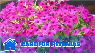 Gardening Tips : How to Care for Petunias