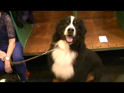 Bernese Mountain Dog in Crufts 2017