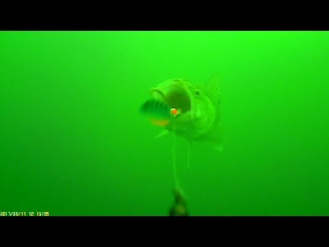 Trolling For Ealy Summer Walleye With Worms To Record Fish Strikes