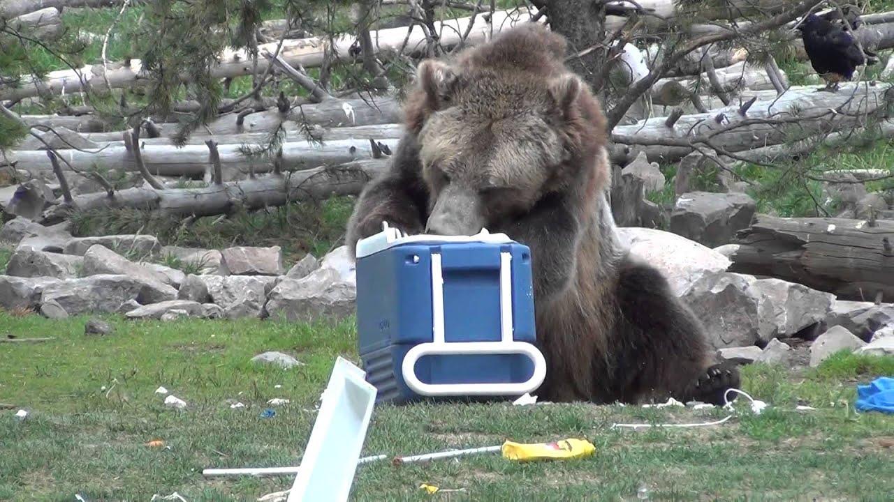 """Résultat de recherche d'images pour """"Bear and Wolf Discovery"""""""
