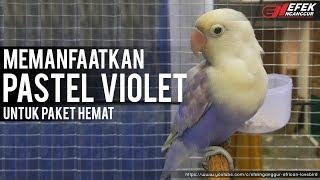 Lovebird Pasvio bisa untuk mencetak violet © Efek Nganggur