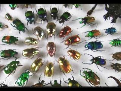 Amazing Colorful Beetles 720p HD LANHM Insect Fair 2009