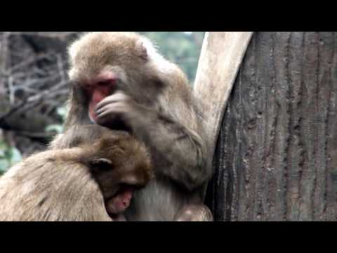 Cute. Japanese Macaque Mom And Kid.Hamura Zoo.可愛い。ニホンザル母子。羽村市動物公園。