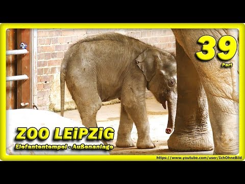 🔴-zoo-leipzig-•-baby-elefant,-rani,-don-chung-&-voi-nam-/-travel---Слоненок---зоопарк---animals