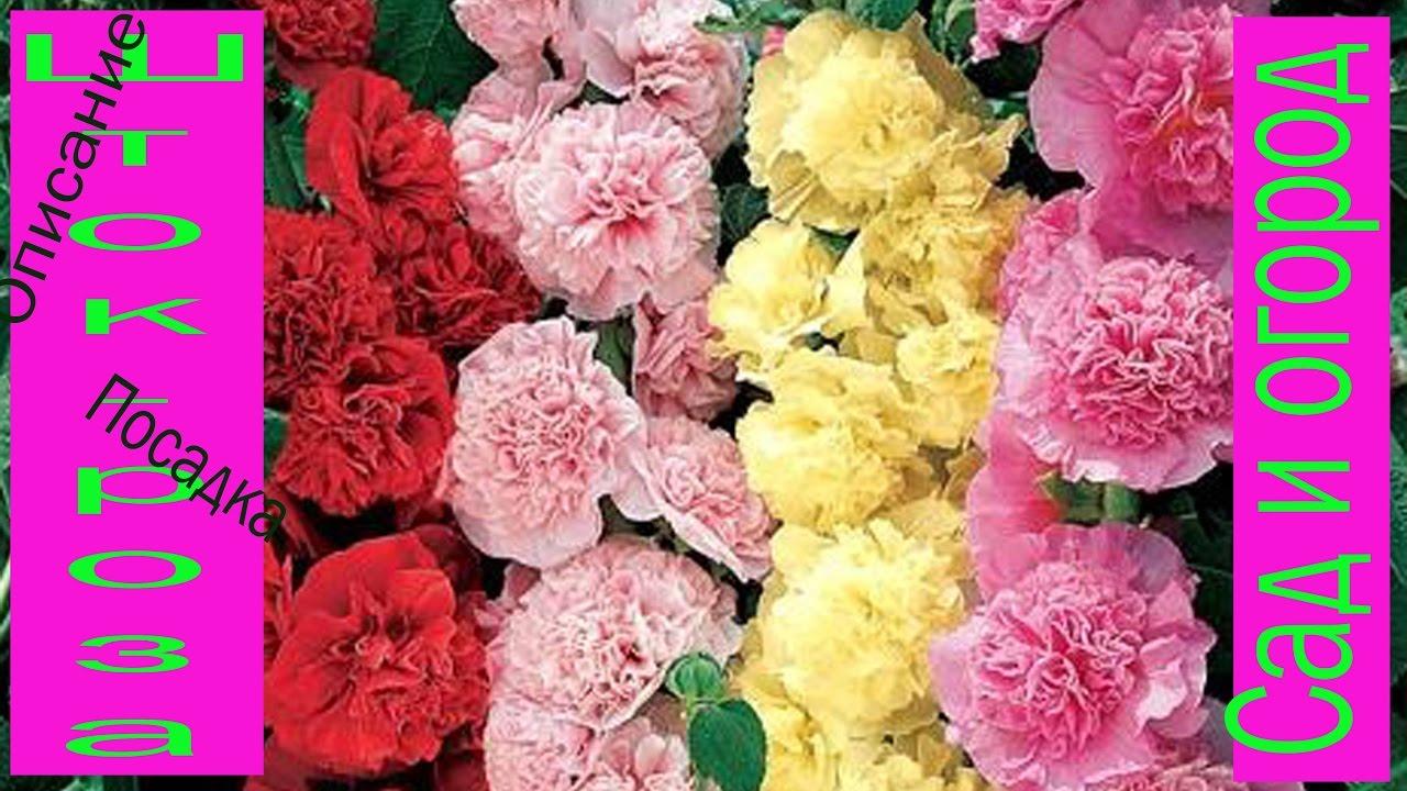 цветы шток роза фото