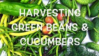 Harvesting Green Beans & Cucumbers