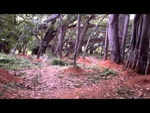 The discovery of a gigantic banyan - Documentary