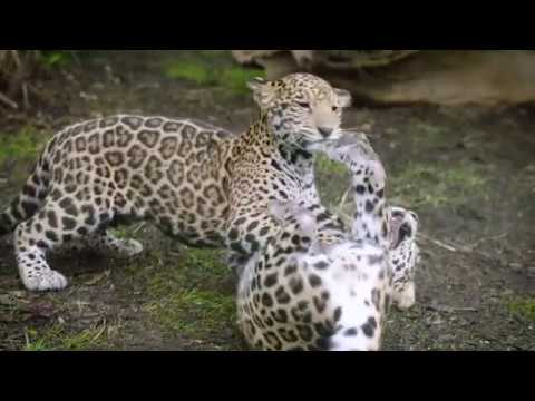 Jaguar San Antonio >> Jaguar Cubs At The San Antonio Zoo