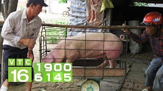 Giá lợn rớt thê thảm, chỉ còn 25.000 đồng/kg | VTC16