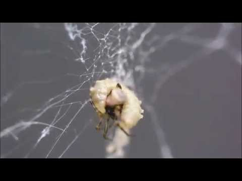 Walking Dead: How Wasp Overlords Control Spider Zombies
