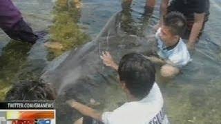 NTG: Sugatang balyena, napadpad sa tabing-dagat sa Pagudpud, Ilocos Norte