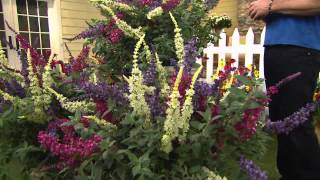 Cottage Farms 3-pc. Flutterby Multi-Color 3-in-1 Butterfly Bush with Nancy Hornback