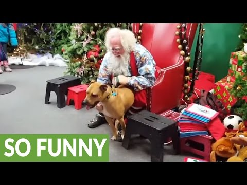 Rescued pit bull meets Santa, can't contain excitement