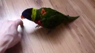 Крутой попугайчик играет в мячь