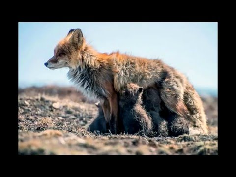 46 Best Photos of Foxes on the Chukchi Peninsula  -  (slideshow)
