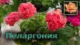 Комнатные растения. Пеларгония.
