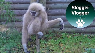 Hilarious Gibbons Freak Out About Rodent