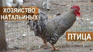 Декоративные птицы и куры в хозяйстве Натальиной-Степанова