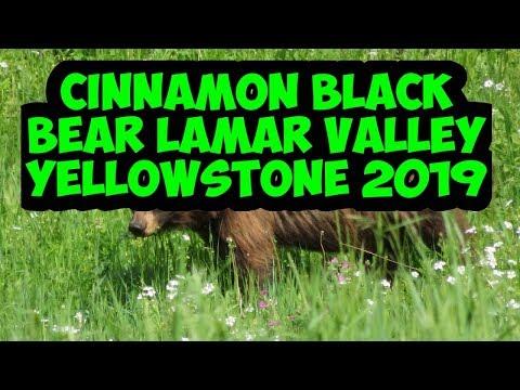 Cinnamon Black Bear   Lamar Valley   Yellowstone   July 2019